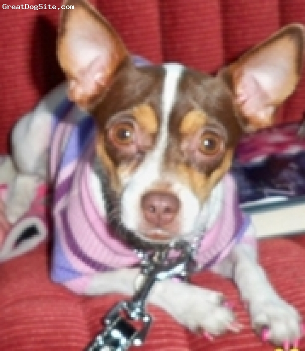 Rat Terrier, 3, pokabrown, sleeps under the covers and keeps your feet warm and cozy and she never barks and keeps you up all night,she like to ride on our boat and motorcycle.Sometimes I think she is a cat .she is the 2nt best dog in the world!