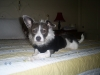 Ratshi Terrier, 3 yrs., Black & white