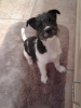 Ratshi Terrier, 6 months, black and white