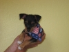 Ratshire Terrier, 2 1/2, Black/Tan/Silver