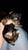 Ratshire Terrier, 4 weeks, Gold black