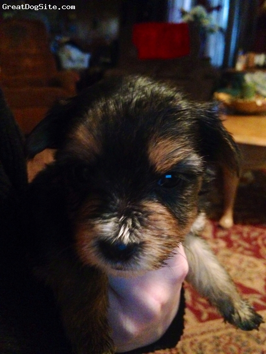 Ratshire Terrier, Puppy, Mixed, Getting longer hair super soft and fluffy