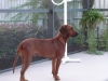 Redbone Coonhound, 3 or 4 years old, Red