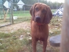 Redbone Coonhound, 2 years, red