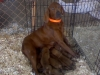 Redbone Coonhound, 8 years, red