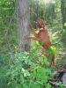 Redbone Coonhound, 2 years, 2 1/2 months, solid deep red
