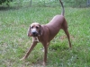 Redbone Coonhound, 15 Months, Red