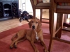 Redbone Coonhound, 2 years in this picture, Red w/ some white