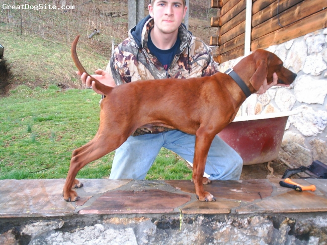 Redbone Coonhound, 2, red and white crest, short and stocky this is one redbone that can put a coon up a tree