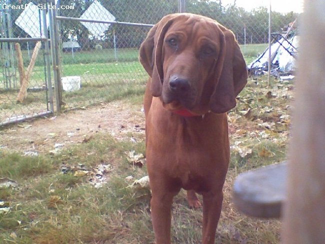 Redbone Coonhound, 2 years, red, Big Blocky redbone