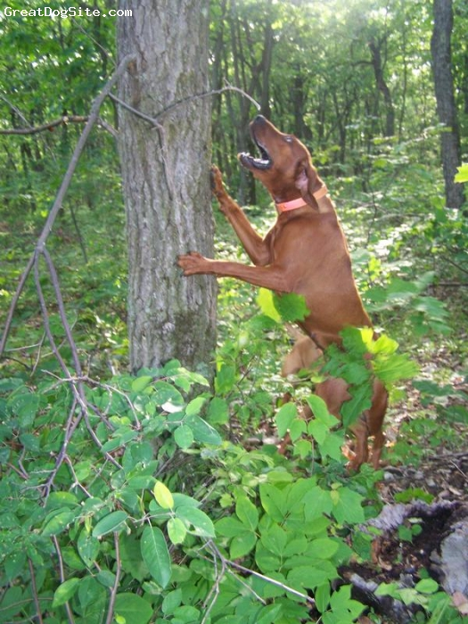 Redbone Coonhound, 2 years, 2 1/2 months, solid deep red, show champion, pending nite champion