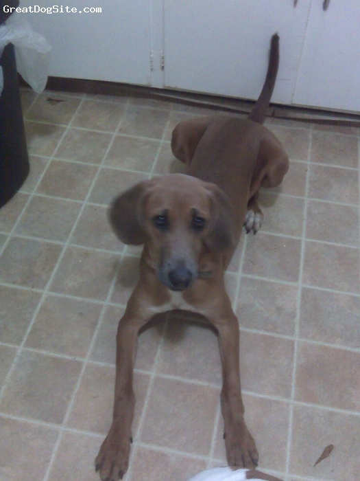 Redbone Coonhound, 7 months, Red, Extremely lanky....still waiting to fill in.