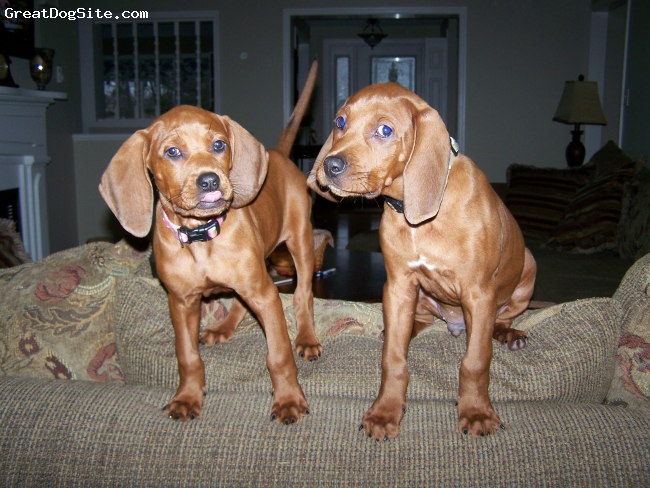 Redbone Coonhound, 12 weeks, red, roscoe and allie @ 12 weeks of age