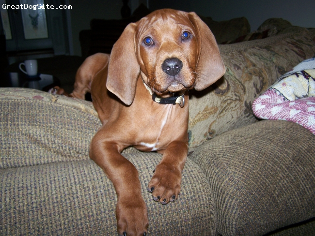Redbone Coonhound, 12 weeks, re, roscoe @ 12 weeks