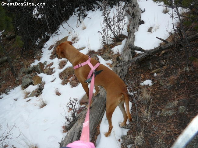 Redbone Coonhound, 3 1/2, Cinnamon, Relentless hunter, wouldn't even stop for a break, kept her nose to the air, and found her mark!  In her down time loves playing keep away and cuddling.