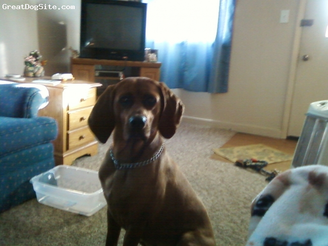 Redbone Coonhound, 2.5 yrs., red, She  is our big baby girl....We rescued her from the humane society...:)