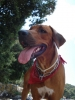 Rhodesian Ridgeback, 1,5 years, LIGHT RED WHEATEN