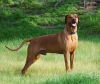 Rhodesian Ridgeback, 4, Dark Red Wheaten