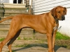 Rhodesian Ridgeback, 3yrs, red wheaten