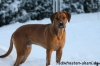 Rhodesian Ridgeback, 11 Month, red wheaten