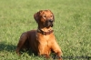 Rhodesian Ridgeback, 9 Month, red wheaten