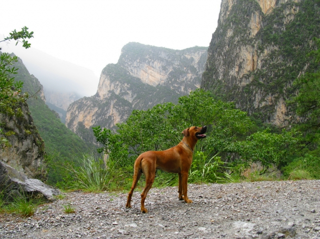 Rhodesian Ridgeback, 1, red wheaten, its a 16 months dog... obedient and protective...