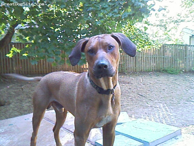 Rhodesian Ridgeback, 2, Red, Strong, fast, smart and affectionate male dog. Extremely capable counter-surfer.