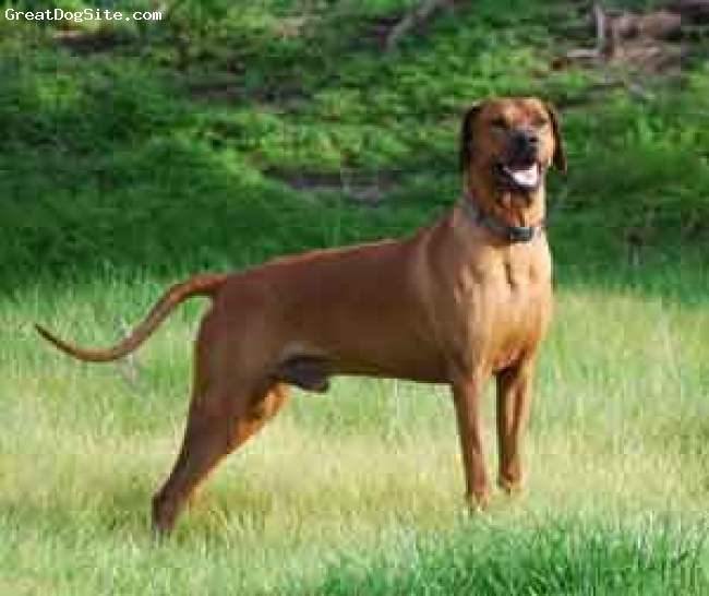 Rhodesian Ridgeback, 4, Dark Red Wheaten, Rifle is a fantastic Rhodesian Ridgeback and exhibits all the best qualities of the breed,  He a working Ridgeback and lives here on the Ranch in South Texas with 40 horses and 5 other Rhodesian Ridgebacks.  He is a great family member loyal and loving.  If there is a better dog in the world I would love to meet him.