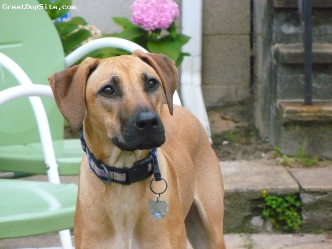 Rhodesian Ridgeback, 1yr, Light wheaten, Prettier than the flowers.