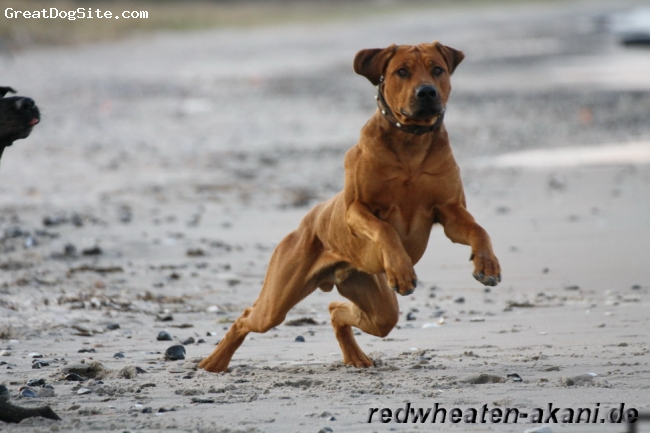 Rhodesian Ridgeback, 14 Month, red wheaten, more information on