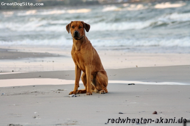 Rhodesian Ridgeback, 14 Month, red wheaten, more information from my dog on