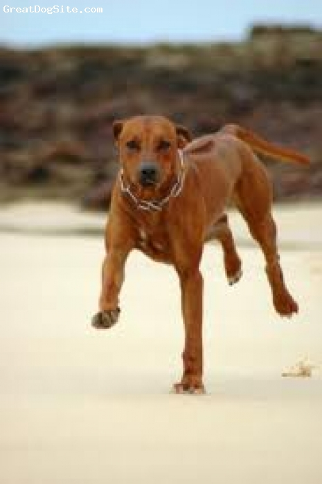 Rhodesian Ridgeback, 6 months, dark weaten, full of life puppy with a heart on his chest