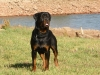 Roman Rottweiler, 2, black and brown