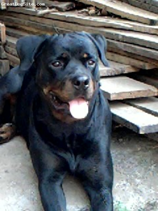 Roman Rottweiler, 1.5 years, black & tan, princess is 1.5 year old female roman rottweiler from india.