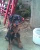 Rotterman, 3 meses, predomina rottweiler