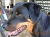 Rotterman, 12 mths, Black & Tan