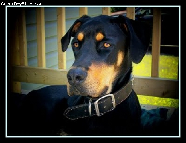 Rotterman, 18 month, black/tan, He is a ball of Love..... wants to be around us all the time at 88lb wants to  sit on your lap and follows us every where....also needs lots of space to run .......not recommended for a small apartment or very young children...Buddy can play rough but my children love him