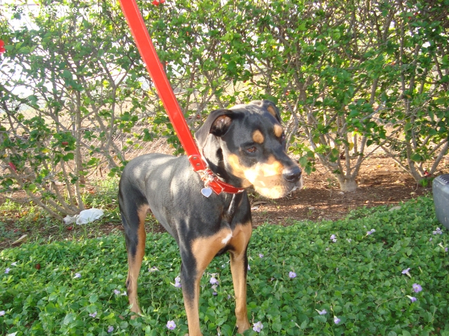 Rotterman, 8 years, Blk/Tan, Misty is a wonderful family dog that has the best disposition. She is very smart and is great with my two young daughters, chihuahua, and cat! She is almost 9 years old and weighs around 70 lbs.