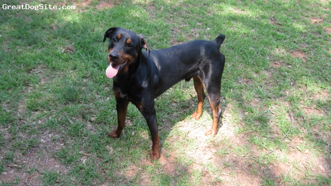 Rotterman, 2 1/2, Black & Rust, Tyten is a 2 1/2 year old, well trained, true-cross Rotterman of a bloodline known as Omikyah.  He has the speed of a Doberman and the power of a Rottweiler and the extreme drive and resolute temperament of both.  Though the Doberman Pinscher has always been my breed of choice, I have trully come to love the Rotterman; in my opinion they are definitely a 21st Century addition to the Working Dog Class and a hybrid masterpiece!
