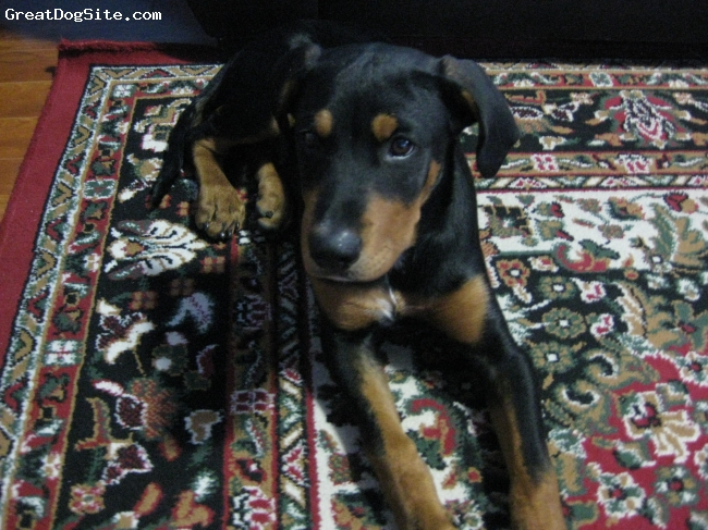 Rotterman, 5 months, black and brown, playful, but nervous when meeting new people, likes other dogs alot