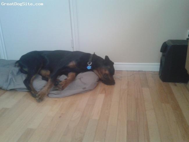 Rotterman, 16 months, BNB, Dog