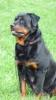 Rottweiler, 3 YR OL, BLACK/MAHOGANY