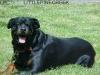 Rottweiler, 6 YR, BLACK/MAHOGANY
