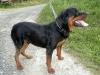 Rottweiler, 5, black tan