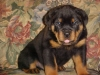 Rottweiler, 5 WEEKS OLD, BLACK/MAHOGANY