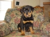 Rottweiler, 6 WEEKS OLD, BLACK/MAHOGANY