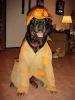 Rottweiler, 5 YR, BLACK/MAHOGANY