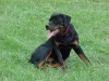 Rottweiler, 6 MONTHS OLD, BLACK/MAHOGANY