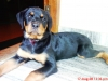 Rottweiler, 4moth, black and tan