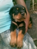 Rottweiler, 1.5 months, Black and tan